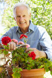 Elderly man pruning geraniums Stock Images