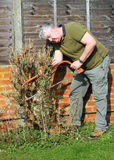 Elderly man sawing hedge. Stock Photos