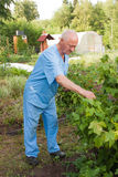 An elderly man sees to the bush of currants Stock Image