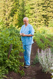An elderly man sees to the bush of currants Royalty Free Stock Photography