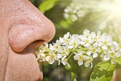 An elderly man sniffs blooming bird cherry and does not experience allergies. A person`s nose sniffs a sprig of cherry flowers. Spring health problems stock image