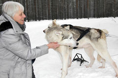 Senior woman cuddling up with two Siberian Husky. Elderly / mature  gray-haired caucasian woman / grandmother snuggling / huddling up with two cute white Royalty Free Stock Image