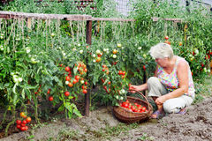 Mistress of a kitchen garden received harvest Royalty Free Stock Photography