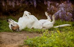 Senior pitbull dog lays on back with  feet in air. Elderly pitbull dog lays on back with feet and nose in the air. She is laying on a combination of dirt, weeds Royalty Free Stock Images