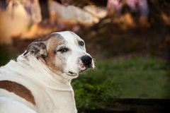 Senior American Staffordshire Terrier sitting on grass looking back. An elderly pitbull is sitting on the grass with a profile looking back to camera. Her Stock Image