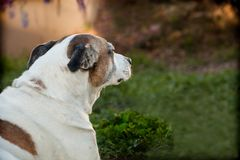 Senior American Staffordshire Terrier, pitbull, sitting on grass. An elderly pitbull is sitting on the grass with a profile looking to her right. Her floppy Stock Image