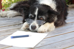 Elderly Retired Border Collie Dog with Spectacles. Elderly retired border collie dog relaxing on the deck and thinking about writing a novel stock photo