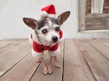Elderly senior chihuahua  Dog wears santa suit and hat Stock Photo