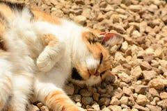 Elderly Tortoishell cat sunbathing Royalty Free Stock Image
