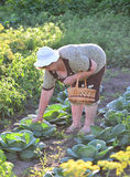 elderly woman with a basket of vegetables on the farm Royalty Free Stock Photography
