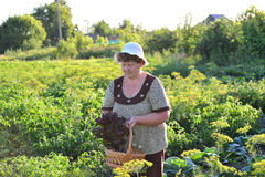 elderly woman with a basket of vegetables on the farm Stock Image