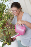Elderly woman caring for potted plants. Studio photography. Houseplant - Scheffler (lat. Schéfflera) - a genus of plants of the family Araliaceae (Araliaceae Stock Photo