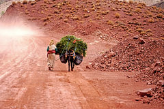 An old woman carries on her donkey herb in the atlas mountains in Morocco. Morocco Atlas mountains. A barber woman walking on the red dirt road.Just one hundred Royalty Free Stock Images