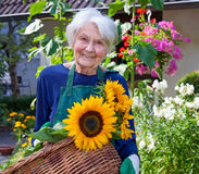 Elderly Woman Carrying Basket with Sunflowers Royalty Free Stock Image
