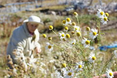 An elderly woman collecting daisies. An elderly woman in the mountains collecting daisies Royalty Free Stock Photo