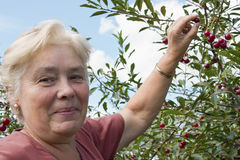 Elderly woman collects  berries Stock Photography