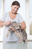 Elderly woman combing cat breed Scottish Fold. Royalty Free Stock Photography