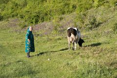 Female shepherd and cow. Elderly woman with cow grazing, in the camps of fetesti, north of the republic of Moldova on the border with romania stock image