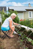 An elderly woman is engaged in weeding in garden Stock Photos