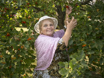 Elderly woman in a garden collects berries. Elderly woman wearing a hat in a garden collects berries Stock Photos
