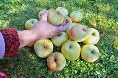 An elderly woman gardener harvests a crop of apples . Sunny autu. Mn October day garden shot royalty free stock image