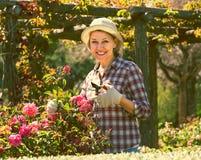 Elderly woman gardening pink roses Royalty Free Stock Photo