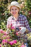 Elderly woman gardening pink roses Royalty Free Stock Photos