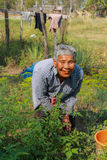 Elderly woman gathering vegetables in her vegetable garden. Royalty Free Stock Photos