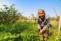 Elderly woman gathering vegetables in her vegetable garden. Royalty Free Stock Photo