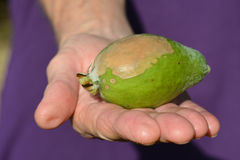 Elderly woman hand hold a Feijoa infected by blossom-end rot Royalty Free Stock Images