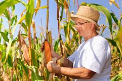 Elderly woman harvesting maize Royalty Free Stock Photo
