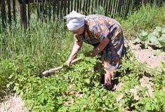 Elderly woman hilling potatoes Stock Photo