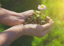 Elderly woman holding a flower. Elderly woman holding a flower in her hands stock photography