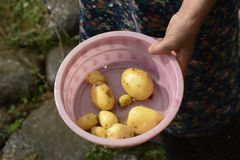 Elderly woman holding a small wash tub of fresh potatos by hand. Elderly woman holding a small pink wash tub of fresh potatos by hand under rain drops Stock Photo