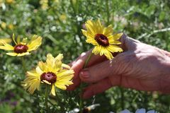 Elderly Woman holding a yellow daisy flower Stock Photos