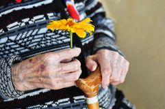 An elderly woman holding a yellow flower and a wooden cane on a summer day on the porch.  stock photos
