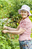 Elderly woman pick up black currant Stock Photo