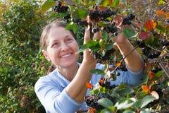 Elderly woman picking chokeberry Royalty Free Stock Photography