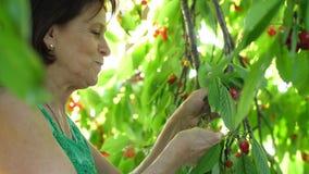 Elderly woman picks cherries at the garden. Mature woman picks and eats sweet cherries stock video footage