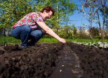 Elderly woman are planted seeds in open ground Stock Photos
