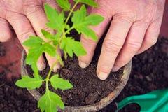 Elderly woman planting fresh tomato seedling, hands detail, homegrown vegetables Stock Images