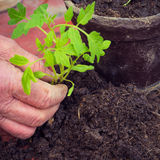 Elderly woman planting fresh tomato seedling, hands detail, homegrown vegetables Stock Photography