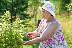 Elderly woman pruning shrubs with pruner Royalty Free Stock Photo