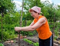 Elderly woman pulls the trellis stock image