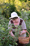Elderly Woman reaps a crop of red currant in the garden Royalty Free Stock Photo