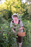 Elderly Woman reaps a crop of red currant in the garden Stock Photos
