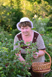 Elderly Woman reaps a crop of red currant in the garden Stock Images