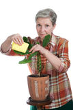 Elderly woman rubs  leaves of the plant Stock Images