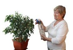 Elderly woman sprinkled ficus Stock Image