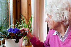 Elderly woman takes care of the flowers royalty free stock photo